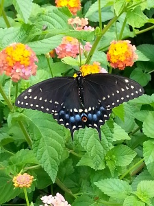 Butterfly on lantana by Dana Young