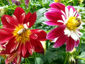bees and dahlias by Dana L. Young