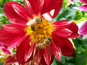bees on dahlias by Dana L. Young