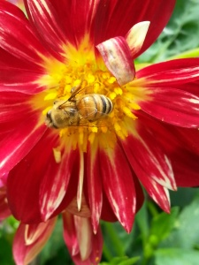 bee on dahlia by Dana L. Young